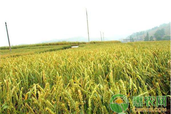2月28日小麦价格行情:储备库小麦供应充足,小麦价格何去何从?
