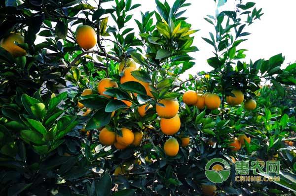 三月脐橙管理要做好哪些工作?三月脐橙管理要点