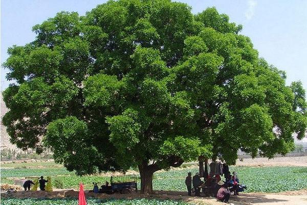 3月6日苗木价格最新报价:乡土树种涨幅加速!
