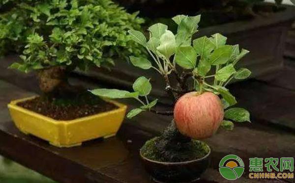 盆栽苹果树养护要点