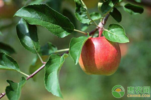 盆栽苹果树种植