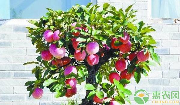 盆栽苹果树