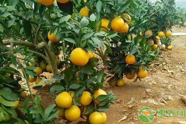 黄金贡柚亩产多少?怎么种?黄金贡柚栽培技术