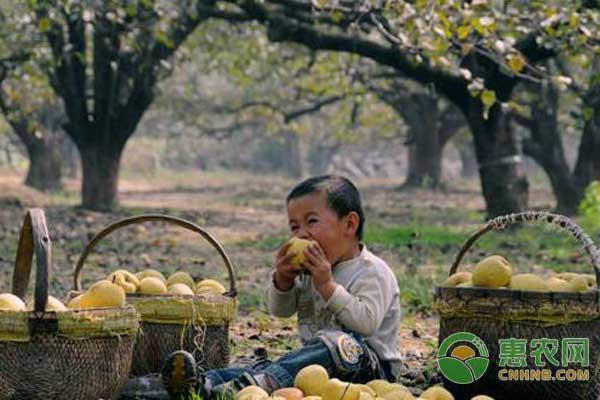 祁县酥梨:山西省祁县特色农产品祁县酥梨图文百科