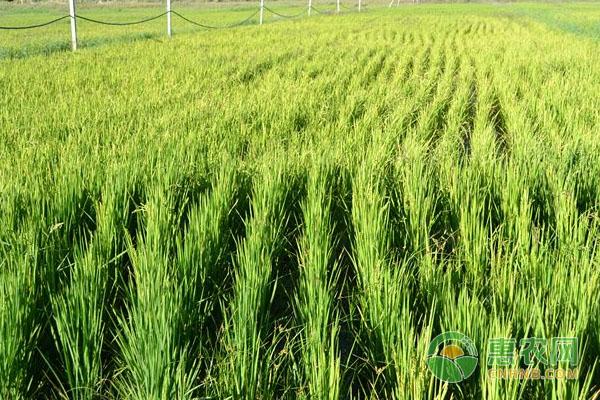 水稻种植怎么施肥?