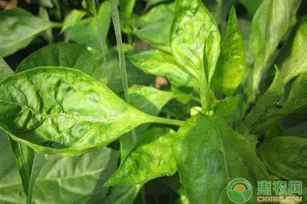 辣椒病毒病的发病症状及综合防治措施