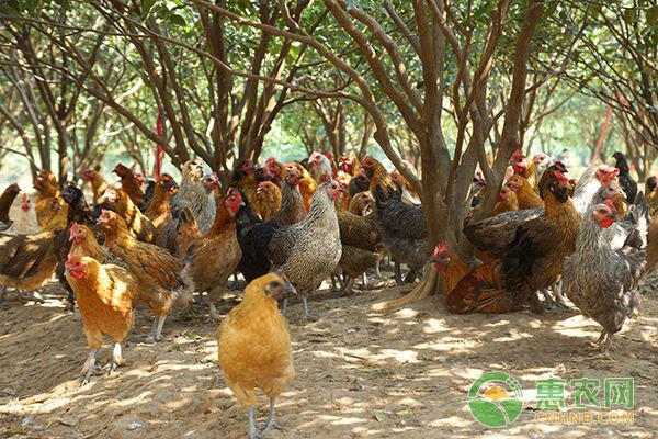 土鸡喂养饲料的选择