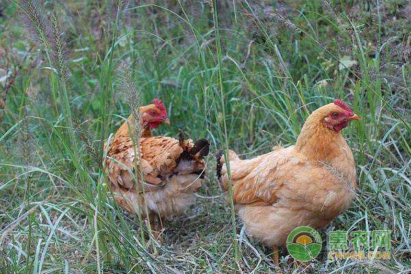 提高土鸡成活率的方法