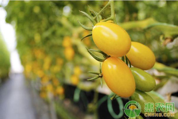 反季节大棚黄岩番茄主要病虫害防治技术