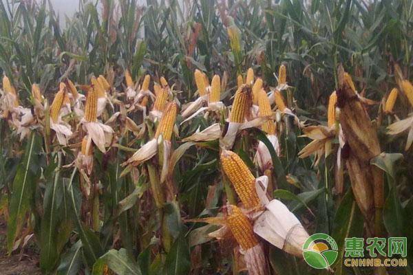 玉米青枯病的防治措施