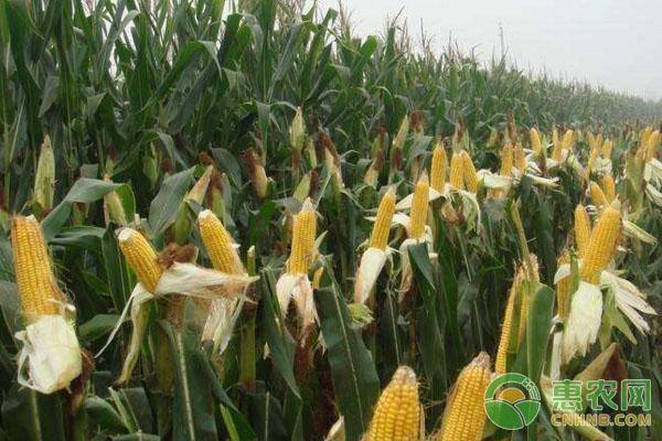 玉米青枯病的发病条件