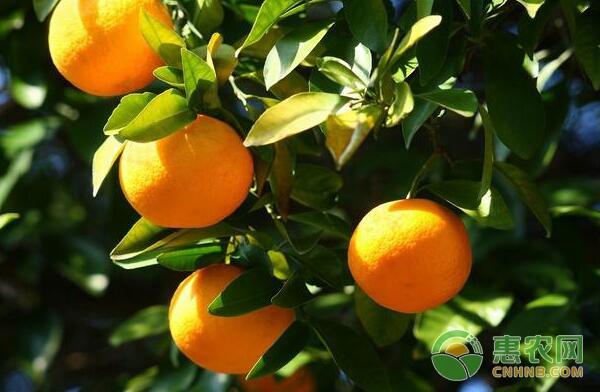 柑橘粉虱防治措施