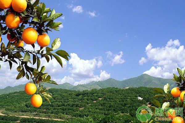 柑橘粉虱的防治措施