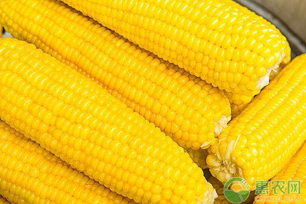 玉米如何栽培?玉米整地、播种、田间管理技术