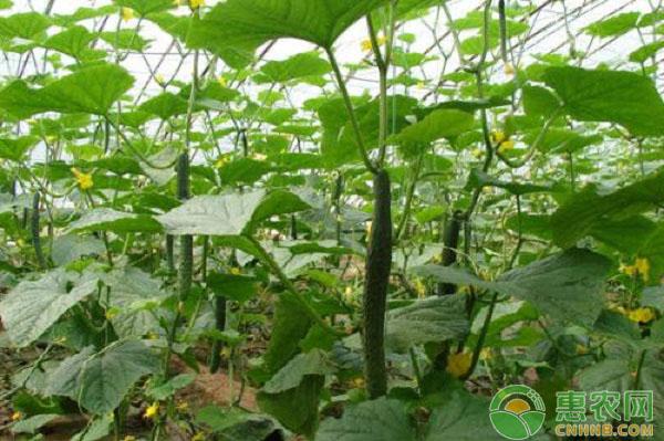 大棚黄瓜全程种植技术要点