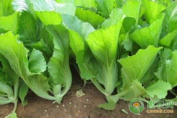 水东芥菜:中国地理标志产品水东芥菜图文百科