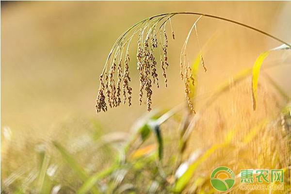 小麦价格多少钱一斤?今日全国小麦价格行情