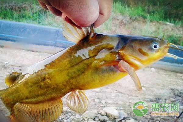 池塘高效养殖黄颡鱼技术