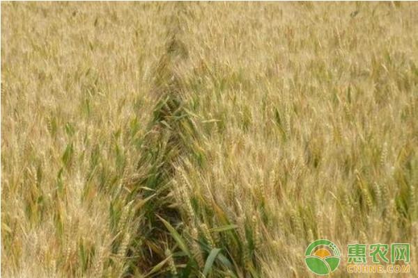 今日小麦价格行情:小麦价格部分下调!