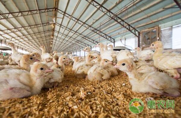 养鸡技术要点