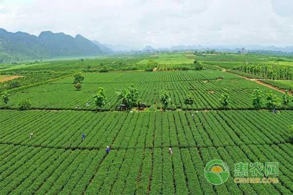 龙州乌龙茶:广西龙州县特色农产品龙州乌龙茶图文百科