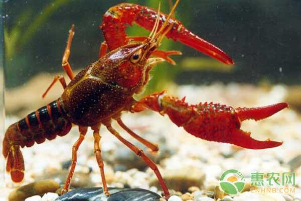 小龙虾怎么繁殖的?小龙虾产卵与卵粒孵化过程介绍