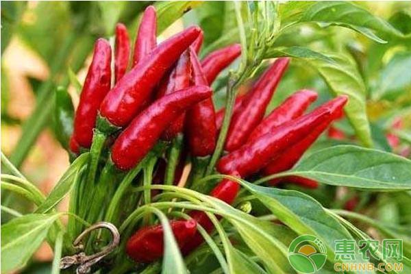 辣椒主要病虫害防治技术的探究