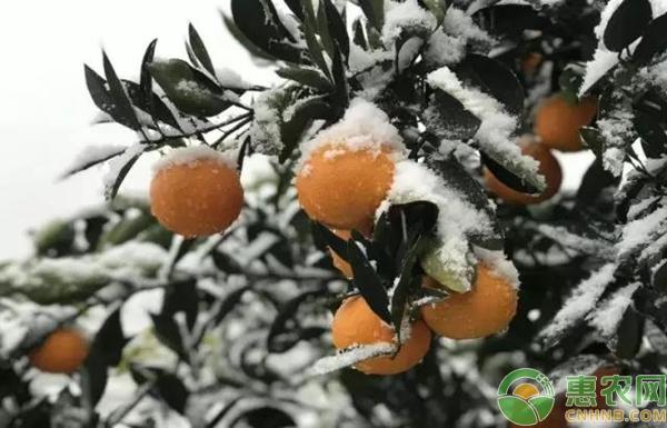 秭归春橙 越冬而来