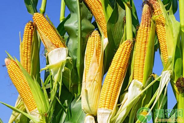 玉米种植技术和病虫害防治
