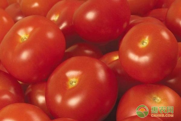 西红柿十大品种详情介绍