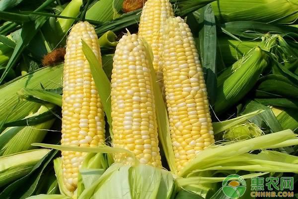 玉米日评:首拍成交92.77% 供应压力加大
