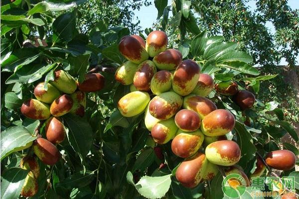 枣树桃小食心虫的危害及其防治技术