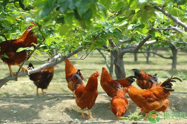 养鸡常见问题