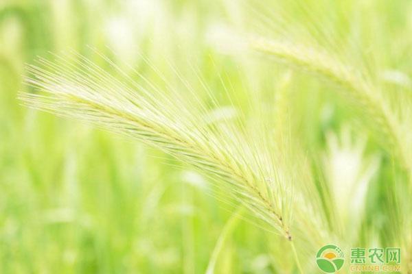 浅谈各地小麦最佳种植时间表
