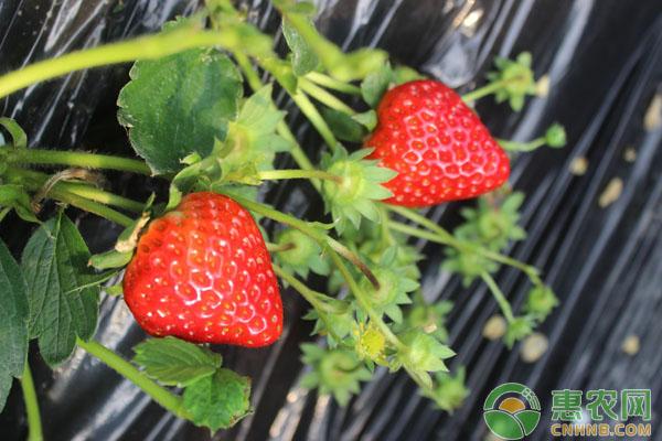 草莓蓟马的发生规律及其防治措施
