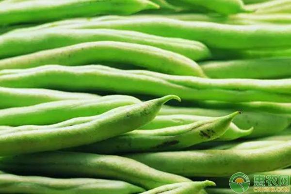 北方棚室豆角早熟优质高产栽培