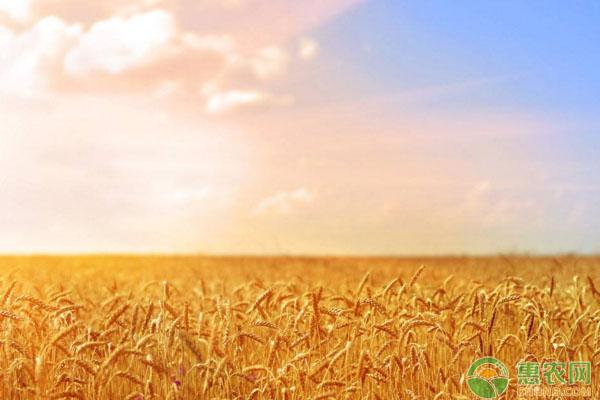 小麦种植过程中,常见的病害有哪些?如何防治?