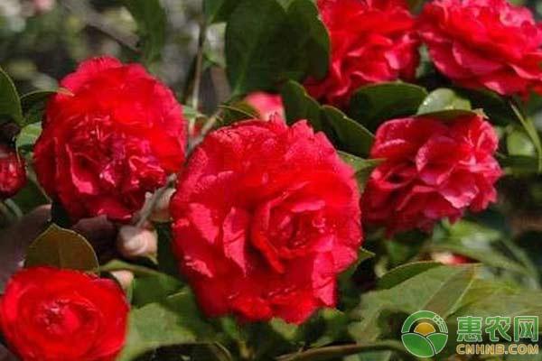 盆栽山茶的养殖方法及日常养护技术