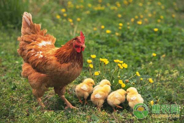 4月17日肉鸡行情 毛鸡价格震荡上涨,鸡苗价格震荡调整