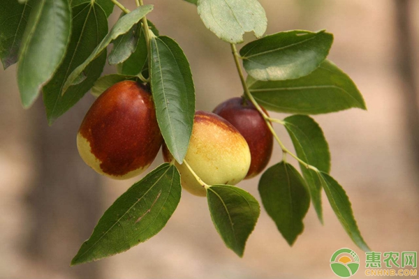 祁东枣树种植