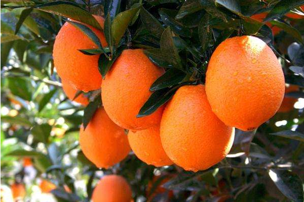 旅游采摘带动晚熟脐橙热销 价格回稳