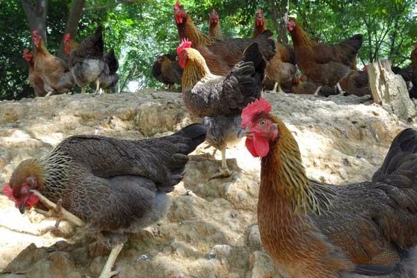 4月20日肉鸡市场行情:毛鸡价格继续调整,鸡苗价格继续下调