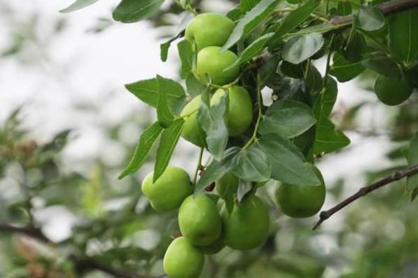 大青枣怎么栽培能高产?大青枣高产栽培管理技巧