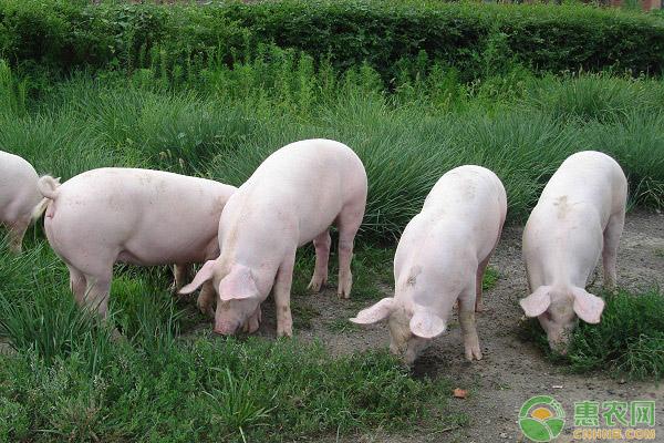 生豬日評:豬價繼續陰跌 豬源依然偏多