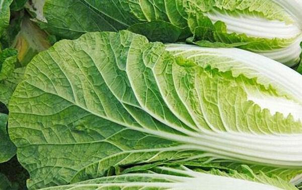 白菜多少钱一斤?4月26日白菜价格行情(产地)