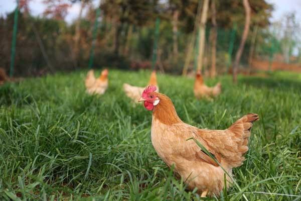4月26日肉鸡行情:毛鸡价格涨跌互现,鸡苗价格小幅回升