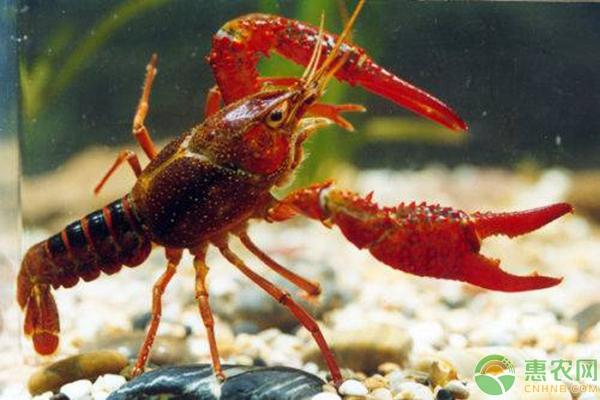 小龙虾养殖赚钱