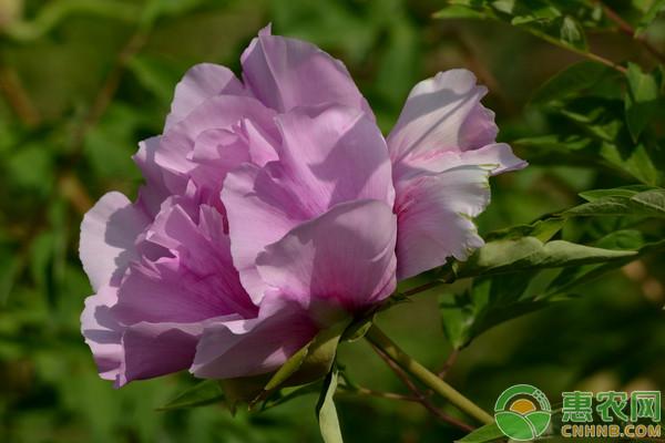 高海拔地区紫斑牡丹垄膜栽培技术