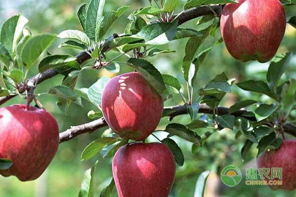 五月份苹果树怎么管理?苹果园管理技术-惠农学堂-中国