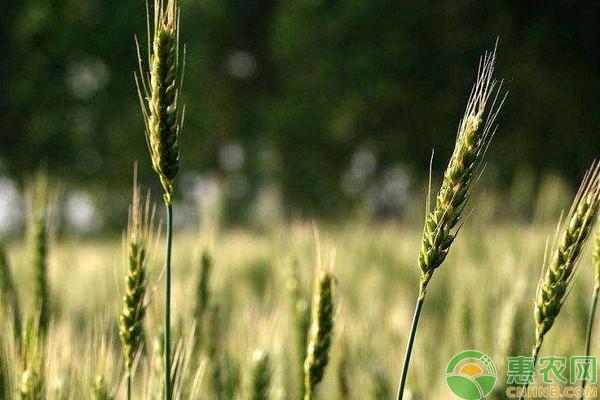小麦价格多少钱一斤?5月4日国内小麦价格最新行情